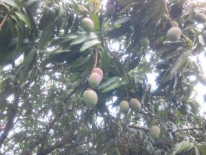 Mango Tree Miami